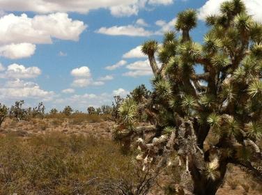 Arizona-Joshua-Tree