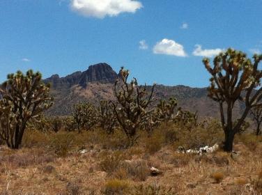 Arizona-Joshua-Trees